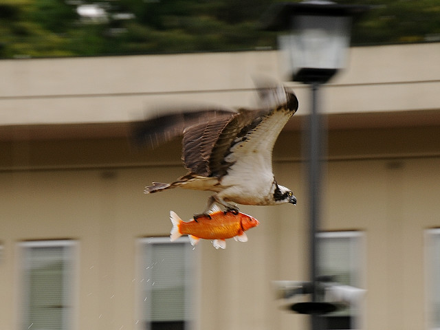 Goldfish an fly with Osprey airlines